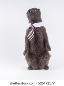 Large grey Scottish fold cat with short ears, white collar and office tie, standing up looking angry. Isolated on white.