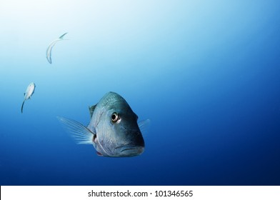 large grey snapper face on
