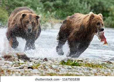 Large grizzly bear chasing smaller grizzly to steal his salmon catch