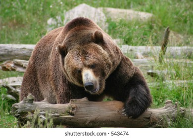 Large Grizzly Bear Tackling a Log