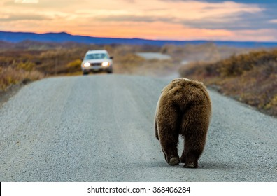 A large grizzly bear walks off into the sunset (and toward a car) on the Denali National Park road