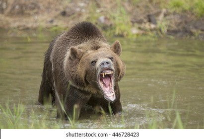 Large grizzly bear in water growling at camera.