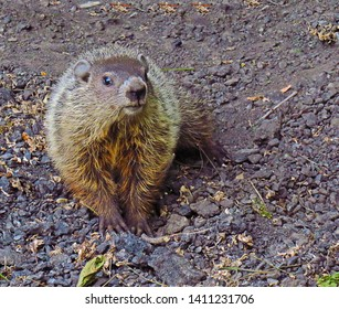 A Large Groundhog (Marmota Monax) Looking for Its Next Meal