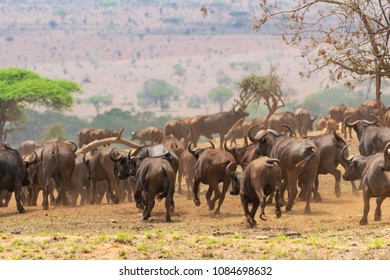 Large group of african buffalos running in the african savannah searching for food and water, environment and hierarchy can be observed.