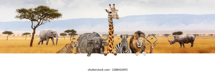 Large group of African safari animals together hanging paws over blank white horizontal web banner or social media header