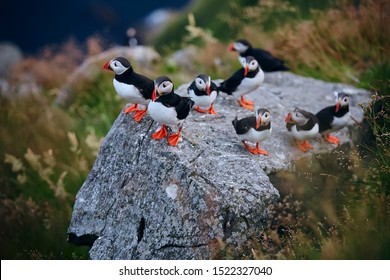 Large group of Atlantic puffin (Fratercula arctica) on the island of Runde in the Norway. Beautiful little bird with red bill of bird. Wild scene with arctic animals.