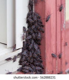 A large group of Box Elder (Boisea trivittata) bugs emerging after hibernating during winter