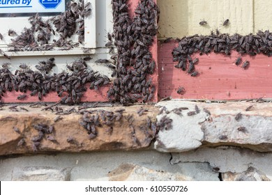 A large group of Box Elder (Boisea trivittata) bugs emerging from a house after hibernating during winter