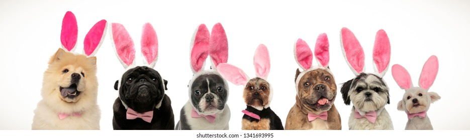 large group of dogs wearing bunny ears for easter on white background