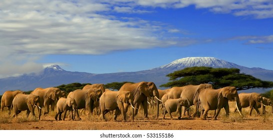 A large group of elephants with snow capped Kilimanjaro mountain in the background.