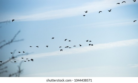 Large group of flying geese in formation. Birds on their way for their annual migration. Geese flying in a line with a blue sky in the backgroun