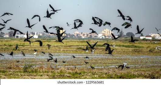 Large group of Glossy ibis birds fleeing away in a disordered flight