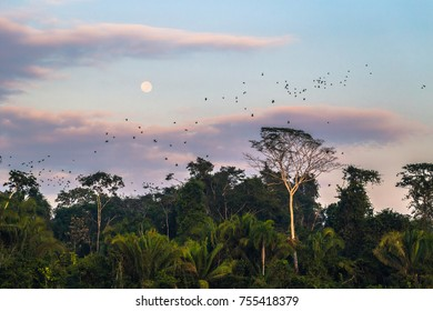 Large group of green parrots in the Amazon rainforest of Manu National Park, Peru