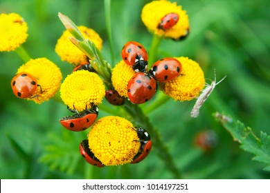 large group of ladybugs resting on yellow flowers with green background