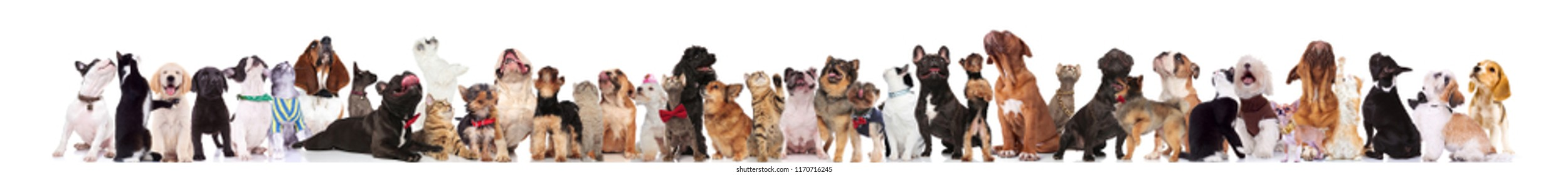large group of many curious dogs and cats look up while standing and sitting on white background, wearing bowties, and colorful collars