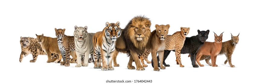 Large group of many wild cats together in a row
