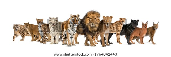 Large group of many wild cats together in a row modern animal wallpaper for walls