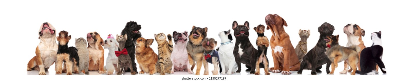 large group of mixed dogs and cats looking up while standing, sitting and lying on white background, wearing red bowties and collars