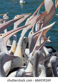 Large Group of Pelicans