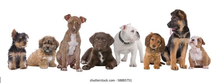 large group of puppies on a white background. left to right, Yorkshire terrier,mixed breed boomer, pitbull terrier,chocolate labrador,French bulldog, dachshund,German shepherd and an English bulldog