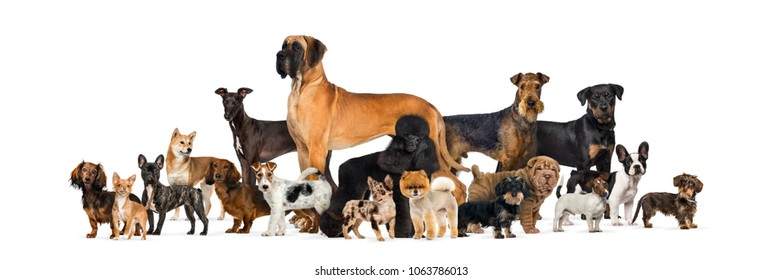Large group of purebred dogs standing in studio against white background