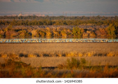 A large group of Sandhill Cranes (Antigone canadensis) land in a marsh at Salton Sea National Wildlife Refuge in California