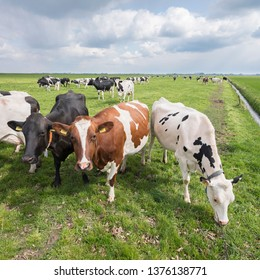large group of spotted cows in dutch green grassy meadow near amersfoort in the netherlands