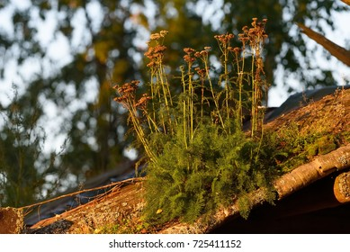 Large group of withered yarrows in the late September evening light growing on a roof of an old wooden house