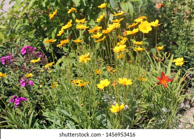 Large group of yellow flowers of lance-leaved coreopsis (Coreopsis lanceolata) on flowerbed
