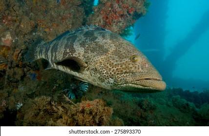 Large grouper under the Navy pier near Exmouth, Western Australia.