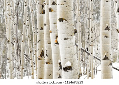 Large grove of aspens with snow on them in the winter