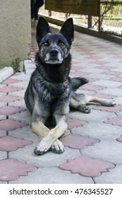 Large guard dog lying on paving yard. Dog crossed paws