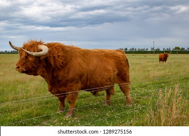 A large hairy highland bull in a field of other highland cattle in Canterbury, New Zealand