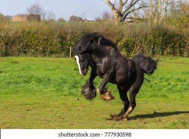 A large happy horse rears up and jumps with joy whilst galloping around his field in England.