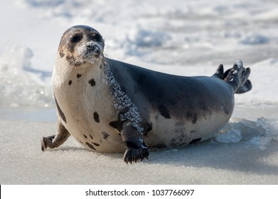 A large harp seal lays on an ice pan with its face and body covered in snow. The seal has two sets of flippers and the claws are on the ice. The seal has its head up and is looking sideways.