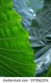 Large heart shaped green leaves of Elephant ear