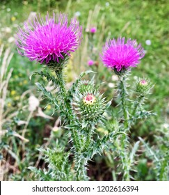 Large herbaceous medicinal plant burdock Arctium. Burdock consist of big green buds, pointy leaves, purple flowers blooming in summer field. Flower burdock arctium used for the treatment of health.