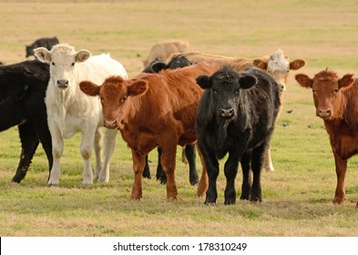Large herd of angus cross beef steers feed on grass on a ranch in northeastern Texas