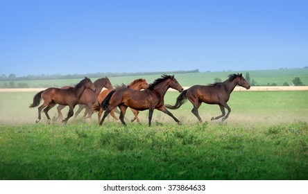 Large herd of beautiful horses galloping across the field in summer. Mustangs against the blue sky