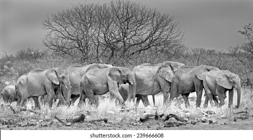 large herd of elephants in black & white walking through the african bush