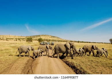 Large herd of elephants cross dirt road in Africa while people o
