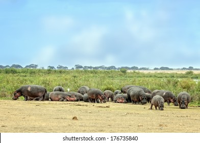 Large herd of hippo (Hippopotamus amphibius kiboko) out of water, Amboseli National Park, Kenya