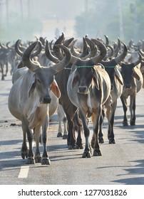 Large Herd of Kankrej cows moving on Road in Gujarat, India