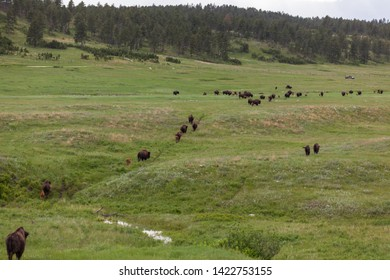 A large herd made up of bison families moves across rolling hills of prairie grassland with tourists and a distant forest.