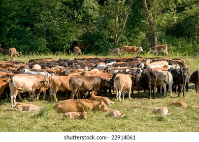 Large herd of red cows and calves on a green meadow in Bieszczady, Poland