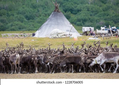large herd of reindeers in summer day, Yamal, Russia
