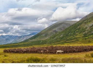 large herd of reindeers in summer, Yamal, Russia