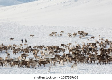A large herd of reindeers in winter, Yamal, Russia