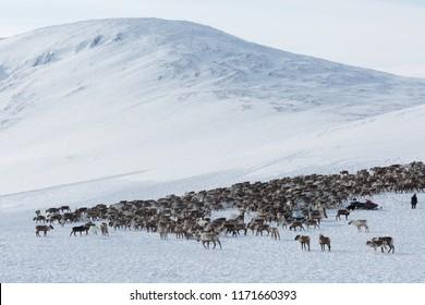 large herd of reindeers in winter, Yamal, Russia