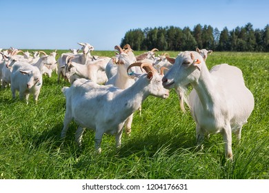 large herd of white goats in summer day